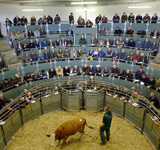Bakewell Market Store Cattle Sale on 14th February